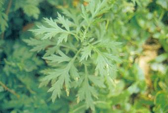 艾叶 Artemisia Vulgaris Linn