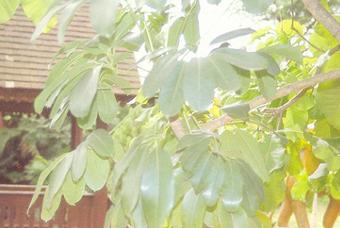 鸭脚木 Schcfflera Octopphylla