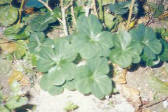 紫花酢浆草 Oxalis Corgmbosa DC