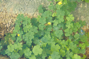酢浆草 Oxalis Repens , Thunb