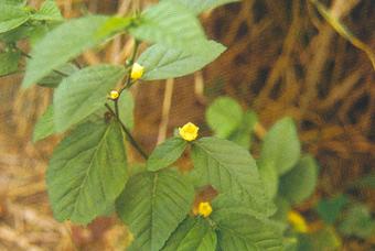 黄花母 Sida Rhombifolia Linn