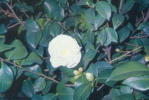 山茶花 Camellia Japonica L